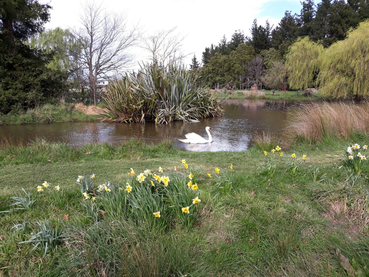 Daffodils at Taniwha – A 'Must Do' this September.